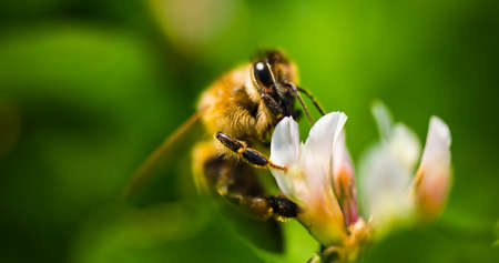 Close up of honey bee on the clover flower in the green field. Good for banner. Green background.