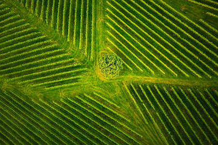 Aerial view at rows of grape vines vineyard South Styria , Austria. Tuscany like landscapes