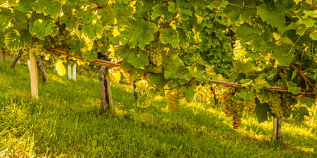 Crops of white grapes with green leaves on the vine. fresh fruits. Harvest time early Autumn. Vineyard concept.