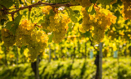 White grapes hanging from lush green vine, vineyard background. Austria, South Styria. Selective focus background