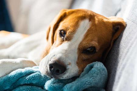 Beagle dog tired sleeps on a cozy sofa in bright room. Canine theme