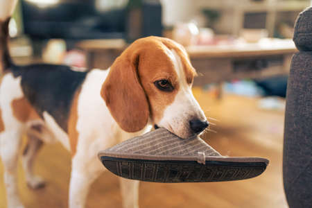 Dog holding a slipper in mouth. Standing indoors. Canine theme Banque d'images