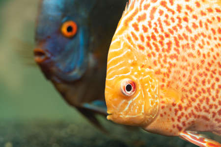 Colorful fish from the spieces Symphysodon discus in aquarium. Aquaristic theme. Imagens