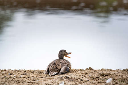 Duck standing on the shore, female wild duck Stock Photo
