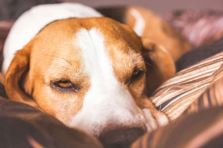 Funny Beagle dog tired sleeps on a cozy bed Stock Photo
