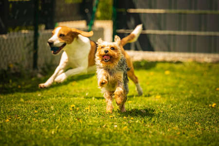 Cute Yorkshire Terrier dog and beagle dog chese each other in backyard. Stock Photo