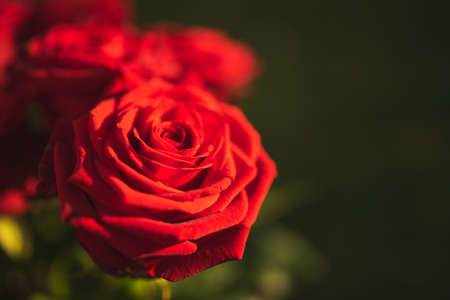 Red rose petals flower on left vivid colors