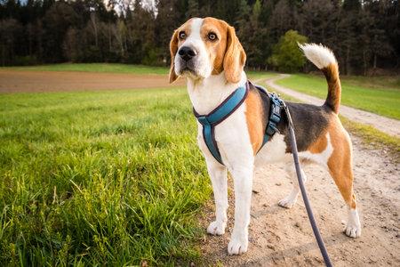 Dog portrait back lit background. Beagle on rural path Stock Photo