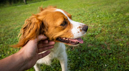 Petting Brittany Spaniel dog outside. Stock fotó