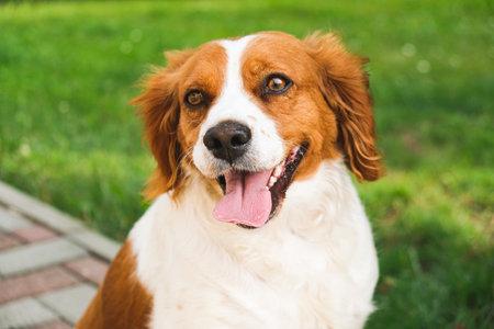 Brittany Spaniel dog outside. Stock fotó