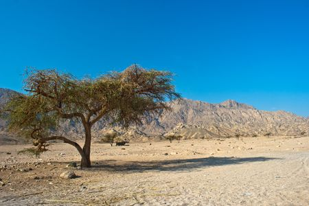 sinai desert: Tree in Sinai desert Stock Photo
