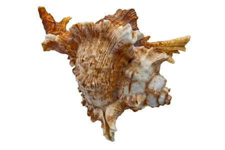 Sea Snail isolated item photo