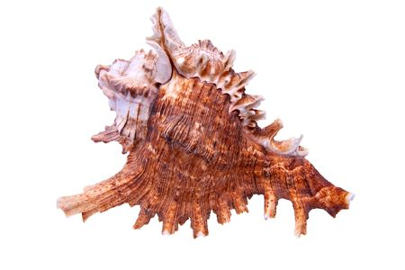 Sea Snail from tropical beach isolated item photo