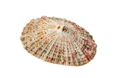 molluscs: Sea Shell, Conch isolated on white background