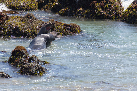 luis: Seal Elephants, Big Sur, California, USA