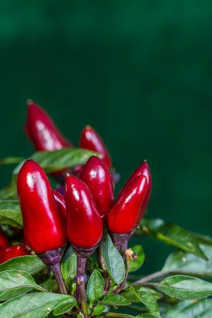 bush pepper: red chilli pepper on a bush Stock Photo