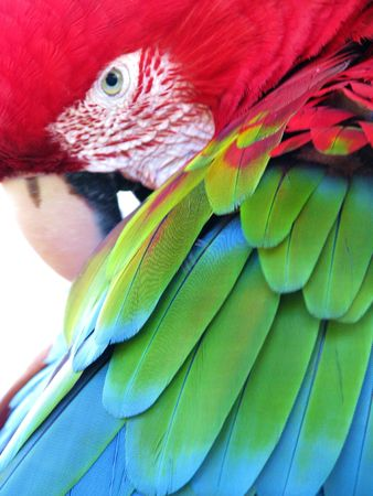 DETAIL OF A WILD RED ARARA (PARROT), beautifully coloured in red, green and blue, seen in the wild in the Pantanal area, Brasil Stock Photo