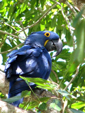 WILD BLUE ARARA (PARROT), beautifully coloured in blue and yellow, seen in the wild in the Pantanal area, Brasil Stock Photo