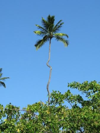 Porto de Galinhas, Brazil: funny, strange palm tree in a gorgeous dreamy tropical beach. photo