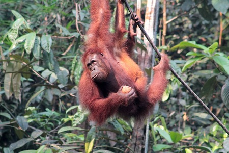 wild asia: Female Borneo Orangutan with its cub, hanging and eating at the Semenggoh Nature Reserve in Kuching, Malaysia.