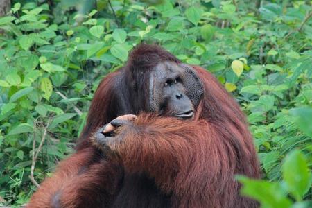 The legendary alpha male Borneo Orangutan called Richie at the Semenggoh Nature Reserve near Kuching, Sarawak State, Malaysia.