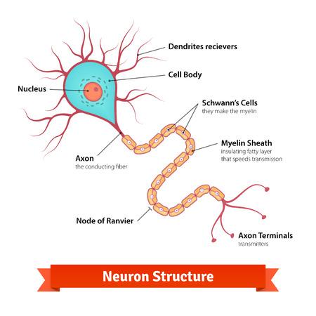 neurona cerebro diagrama celular. Vector la ilustración de colores.