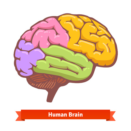 Coloured human brain diagram. Flat vector illustration. Illustration