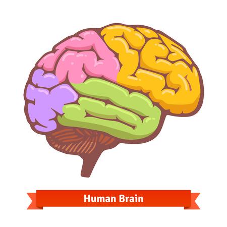 cerebral cortex: Coloured human brain diagram. Flat vector illustration. Illustration