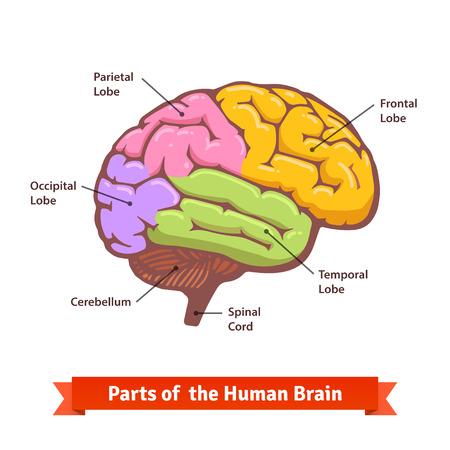 色とラベル付けされた人間の脳の図。フラットのベクター イラストです。