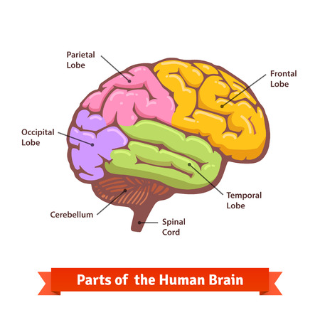 frontal lobe: Colored and labeled human brain diagram. Flat vector illustration.