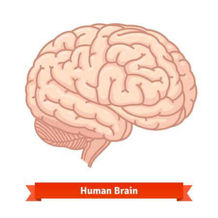 Human brain at three-quarter view. Flat vector illustrations.