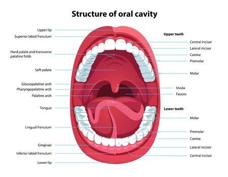 Struktur der Mundhöhle. Anatomiemodell des menschlichen Mundes mit Bildunterschriften. Infografik-Design für Bildungsplakate. Anatomie und Zahnheilkunde des offenen Mundes. Flache Art lokalisierte Vektorsichthilfeillustration vector
