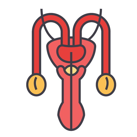 Male sexual organs concept. Line vector icon. Editable stroke. Flat linear illustration isolated on white background