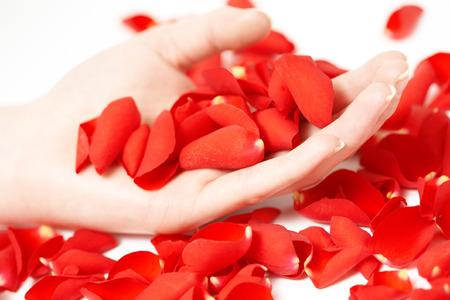 flower close up: Female hands holding red rose petals.