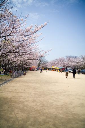 annual event: Evento anual de Jap�n de la flor de cerezo sakura en abril.