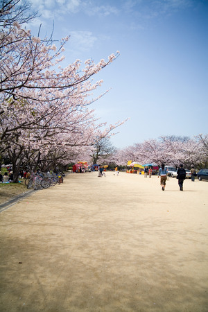 annual event: Japanese annual event of sakura cherry blossom in april. Stock Photo