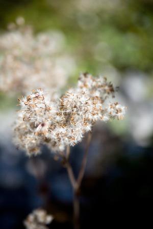 fading: Fading mountain flower turning gray. Stock Photo