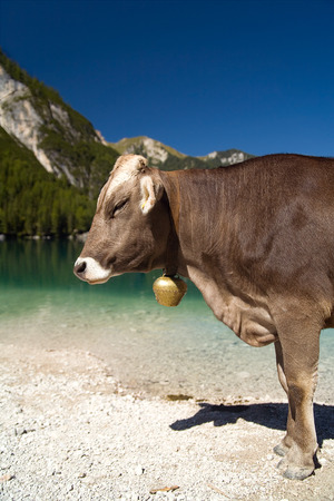 grassing: Lazy cow in the sun at the lake in the Alps wearing bell.