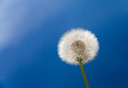 sparce: White fluffy dandelion closeup over blue sky.