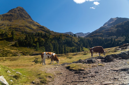 grassing: Two cows grassing in the Alps valley under sun.