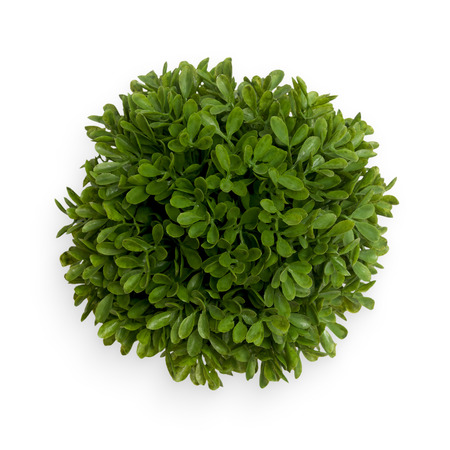 Green round buxus ball. Top view isolated object on white background.