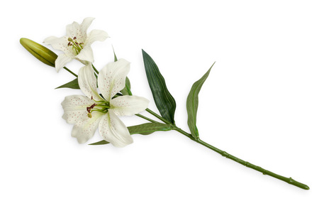 isolated flower: On branch of white lilies. Isolated object on white background.