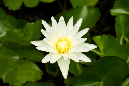 White Lotus On Leaves