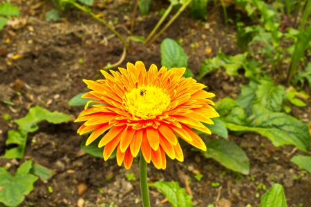 Orange gerbera flowers with bees in the garden