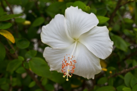 White Rose Mallow in the park Stock Photo