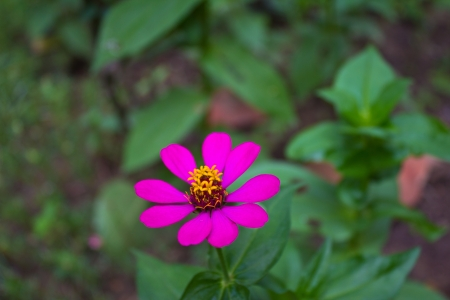 Zinnia Violacea CavFlower in the Garden Stock Photo