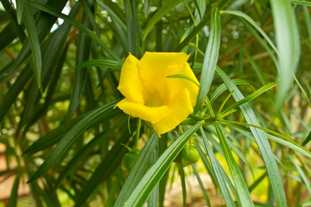 Thevetia peruviana (yellow oleander) Stock Photo