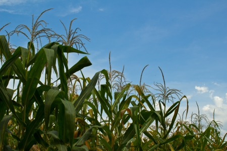 A green field of corn growing up with sky Stock Photo