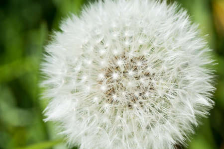 dandelion seed: Close up of dandelion seed heads Stock Photo