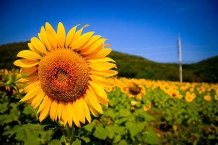 lomography: Lomography of sunflower field  Stock Photo